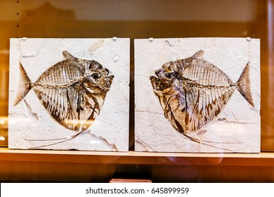 24 MARCH 2017, VIENNA, AUSTRIA: Prehistoric fish skeleton fossils skeleton in the Museum of Natural History, paleontology concept
