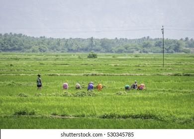 24/10/2016 Tamil Nadu, India, women working in rice fields