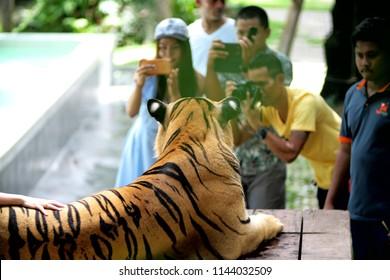 28 July, 2018 - tourist group take closeup photo with tiger at Tiger Park, Pattaya city, Thailand.