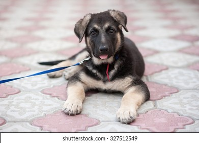 500 2 Months Old German Shepherd Puppy Pictures Royalty Free