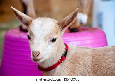 A 2-week old goat kid is wearing a small red collar. A sibling goat stands on a pink bucket in the background.