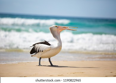 3 of 4 Australian pelican (Pelecanus conspicillatus) was waiting near a fisherman and succeeded in getting a reward of a fish... although it took some effort to swallow :-) Gold Coast, Australia