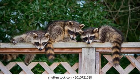 3 baby raccoons