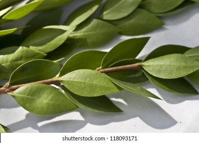 3 branches of Myrtle leaves in a Lulav for Sukkot