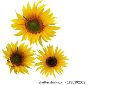 3 bright yellow sunflower isolated on white background