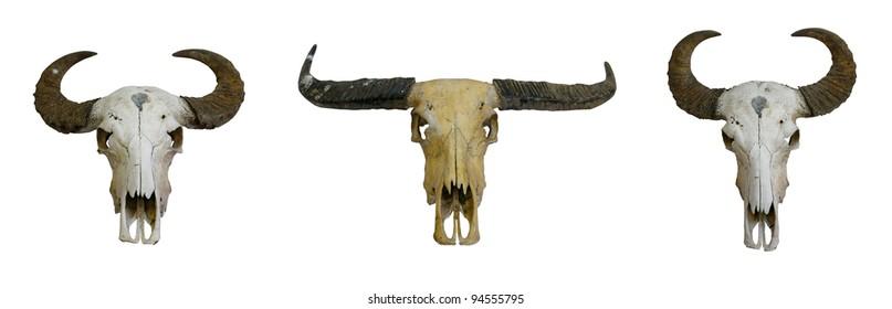 3 buffalo skull with horns on white