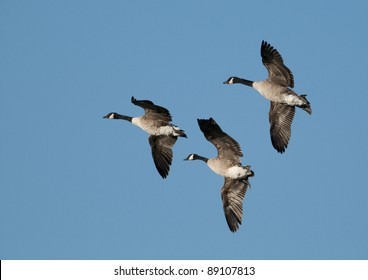 3 Canada Geese (Branta canadensis) flying against a blue sky background