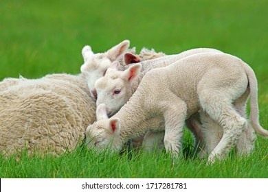 3 Charolais lambs snuggling into their mum in a Cotswold meadow in spring, Gloucestershire, United Kingdom