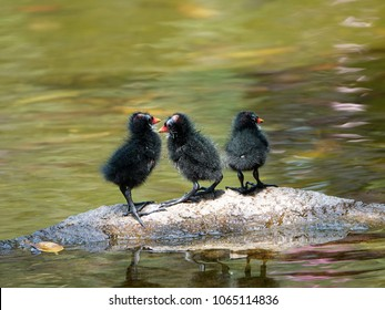 3 common moorhen fledglings standing on a rock in the pond. Common moorhen (Gallinula chloropus) or Eurasian moorhen is a bird species in the family Rallidae.