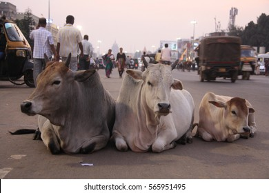 3 cows laying in the middle of the main city street