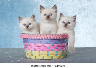 3 cute Ragdoll kittens in pastel Easter basket on blue background