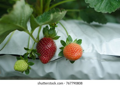 3 different stages of strawberries at a farm in Cameron Highlands, Malaysia