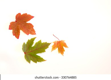 3 fall leaves on a white background