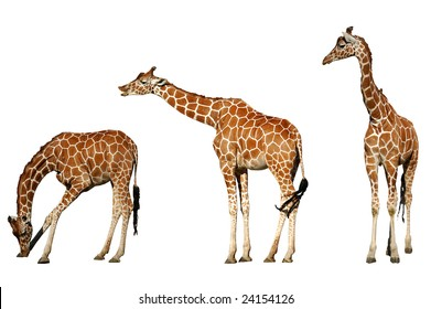 3 giraffes isolated on white