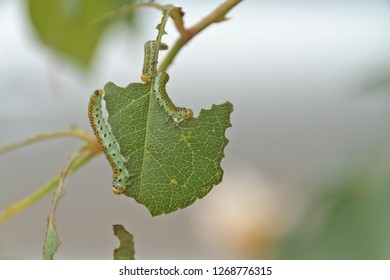 3 Green brownish yellow caterpillar with black spots - Larvae of the Large Rose Sawfly (Arge pagana) eating a rose leaf