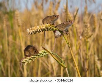 3 Harvest mice