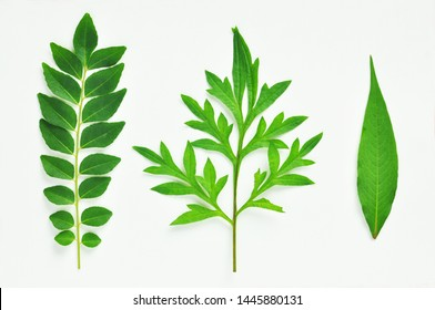 3 isolated tropical Asian herbs and leaf. Curry leaf, King's salad. Isolated on white background. Overhead close up shot– image