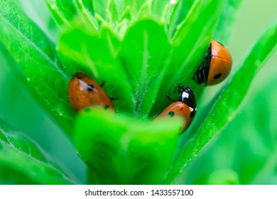 3 Ladybugs hiding in the top of a plant, Macro photo, close up, insect, Coccinellidae, Arthropoda, Coleoptera, Cucujiformia, Polyphaga