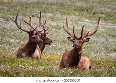 3 large male bull elk laying in yellow wildflowers in mountain meadow