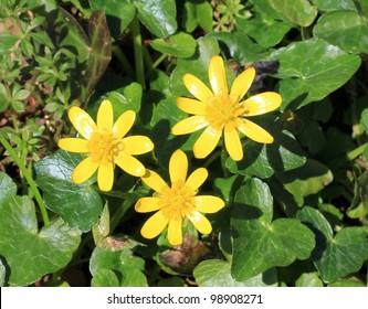 3 Lesser Celandine flowers