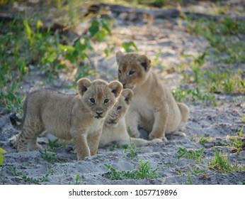 3 lioncubs Botswana