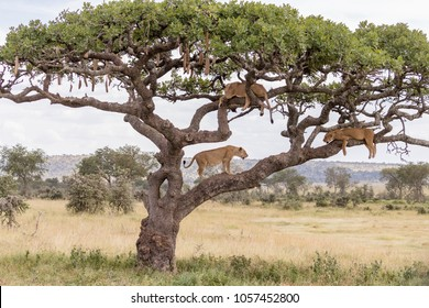 3 lions in a sausage tree, 2 lions resting and 1 lion standing, tanzania