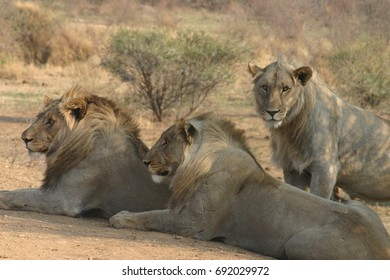 3 lions sitting on the side of the road in the bush