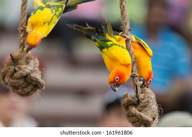 3 lory birds playing on ropes