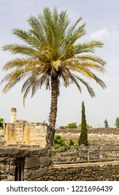 3 May 2018 A stately Palm tree beside the ruins of a first century Jewish Synagogue in the ancient town of Capernaum in Israel