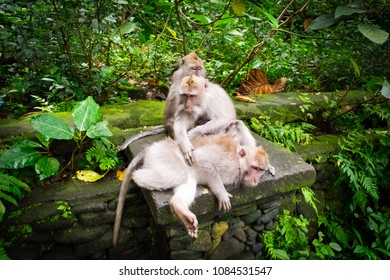 3 monkeys relaxing on a stone wall in the Monkey Forest of Ubud, Bali, Indonesia