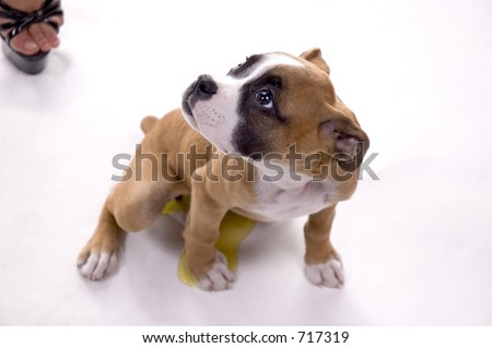 3 month old boxer puppy caught stock photo edit now 717319
