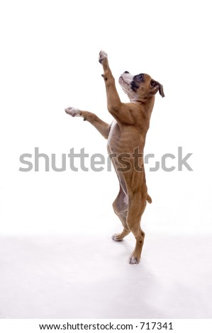 3 month old boxer puppy stock photo edit now 717341 shutterstock