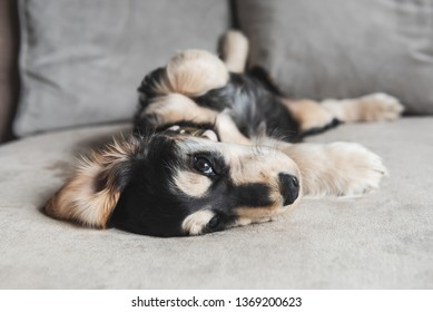 3 month old brown and tan colour English Cocker Spaniel bitch puppy laying on her back on a sofa