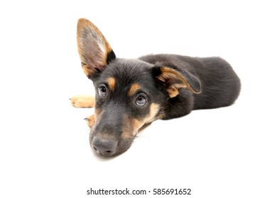 3 month old puppy on white background