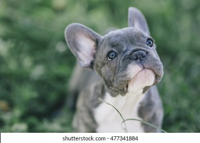 3 months old blue french bulldog