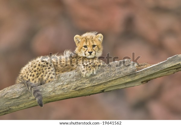 3 months old cheetah cub