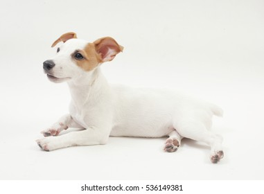 3 months old female jack russell terrier in a lying position on the white background.