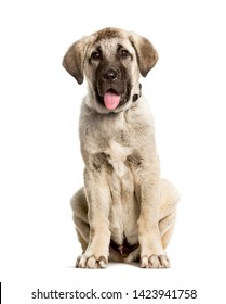 3 months old puppy Anatolian Shepherd dog sitting against white background