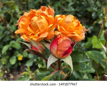3 orange roses and two buds just opening on a bush