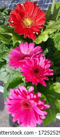 3 pink daisies and 1 red daisy on their green leaves