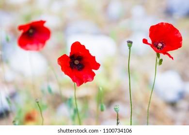 3 poppy flowers