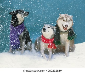 3 rescue dogs, one german shepherd mix and 2 american huskies wearing scarves sit in a snow storm wondering where all of these flakes are coming from Caption:  There sure are a lot of flakes out here