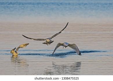 3 seagulls landing at lake ammersee in bavaria