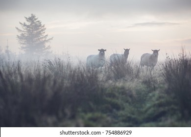 3 sheep in a field at dawn as the sunrises through the mist and fog