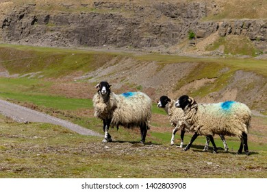 3 sheep from Northumbria. In the background, you can see the rugged landscape contrasting with the sheep's uncared for coat. You can also see the road juxtapositioning to the calmness of this scene.