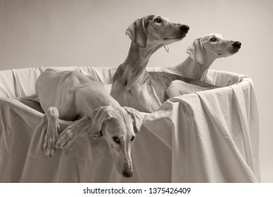 3 smooth salukis in their bed, black and white