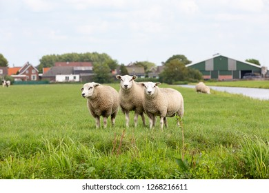 3 staring white sheeps in a grass pasture farmland in the village of Oud Ade the Netherlands.