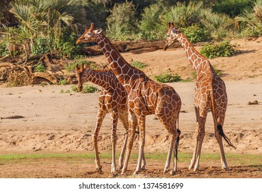 3 three funny elegant Reticulated giraffe Giraffa camelopardalis reticulata dance, sway and boogie Samburu National Reserve Kenya East Africa