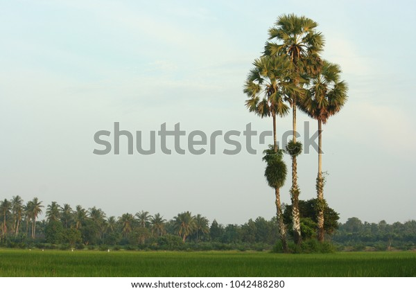 3 toddy palm in farm at countryside