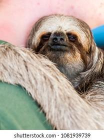 3 toed Sloth Roatan Island, Honduras